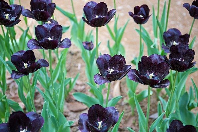 tulip1707_x660.jpg