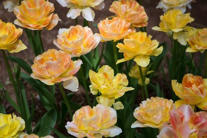 tulip1713_x660.jpg