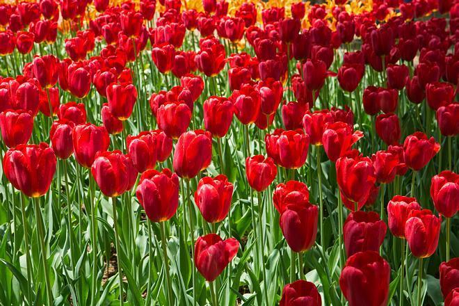 tulip1721_x660.jpg
