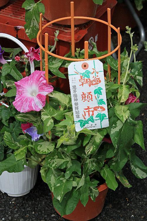 asagao0912_y750.jpg
