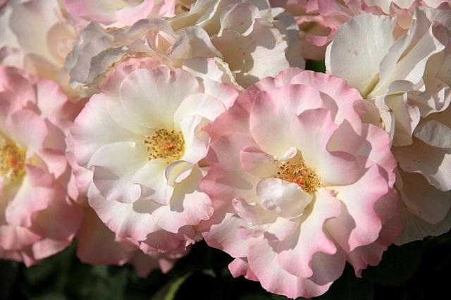rose1120_x640.jpg