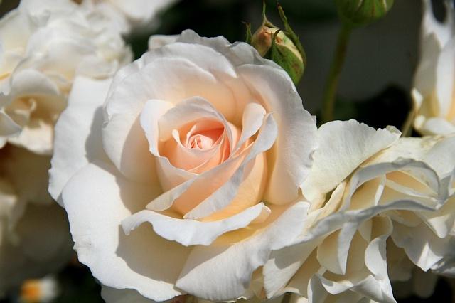 rose1121_x640.jpg