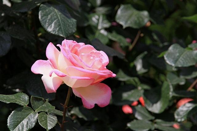 rose1131_x640.jpg