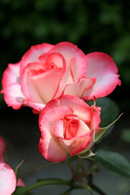 rose1135_y750.jpg