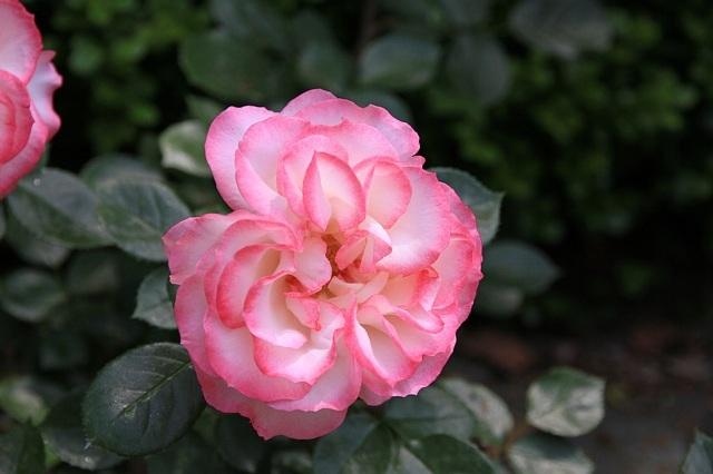 rose1136_x640.jpg