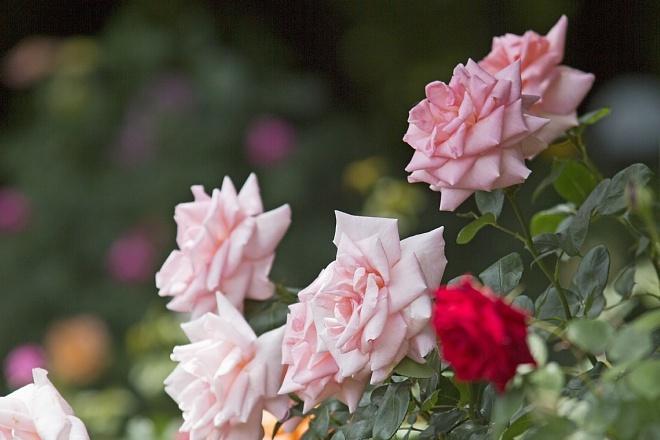 rose1410_x660.jpg
