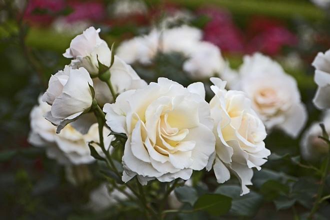 rose1421_x660.jpg