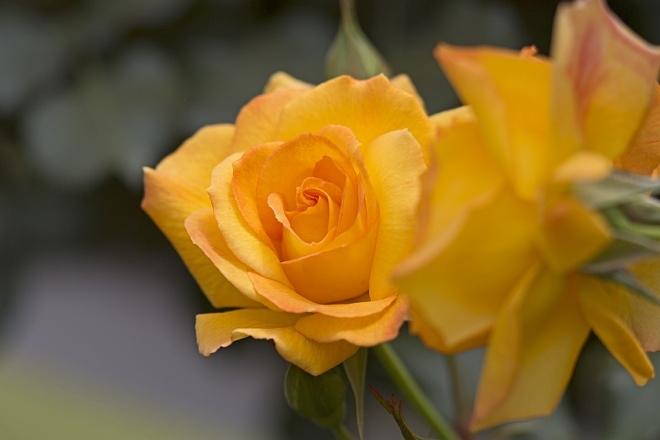 rose1428_x660.jpg