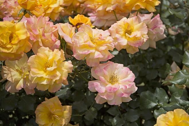 rose1432_x660.jpg