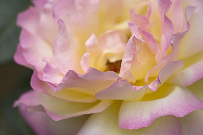 rose1433_x660.jpg