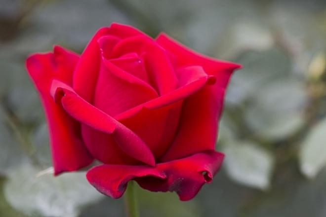rose1442_x660.jpg