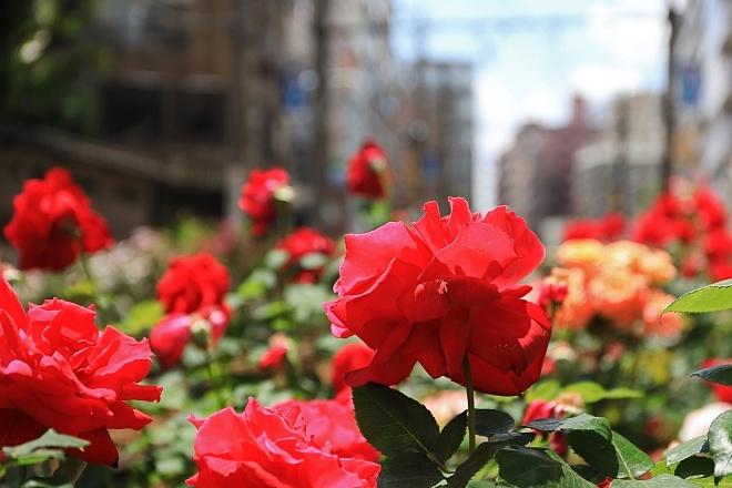 rose1902_x660.jpg