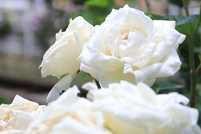 rose1906_x660.jpg