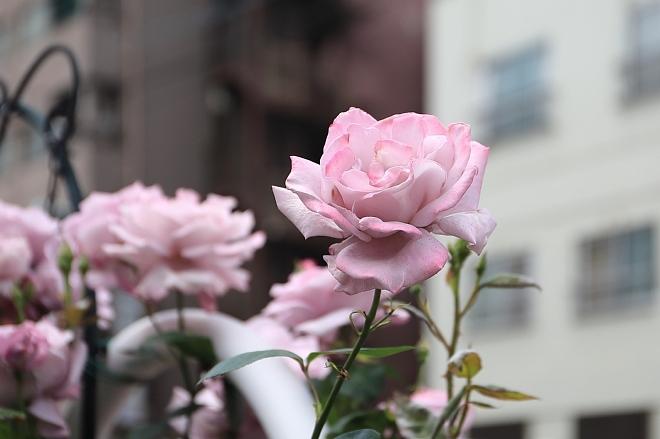 rose1912_x660.jpg