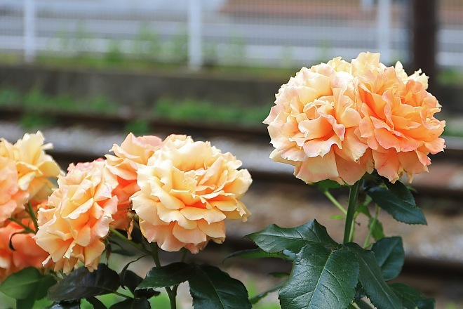 rose1913_x660.jpg