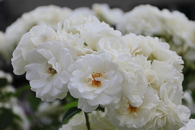rose1931_x660.jpg