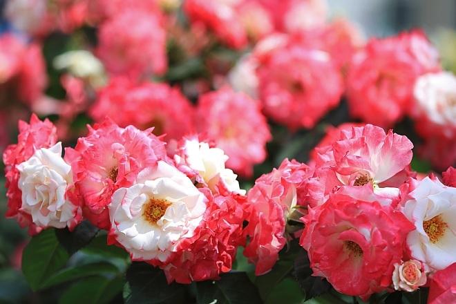rose1939_x660.jpg