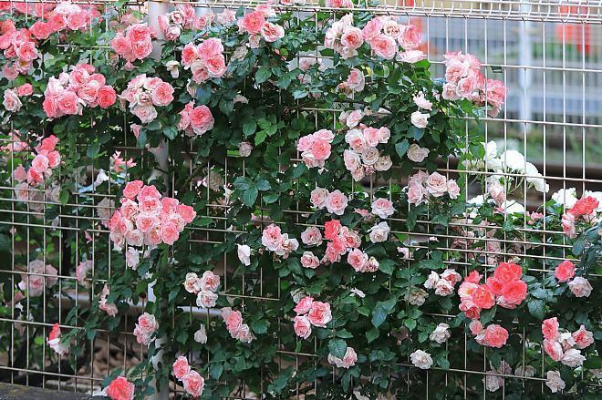 rose1950_x660.jpg
