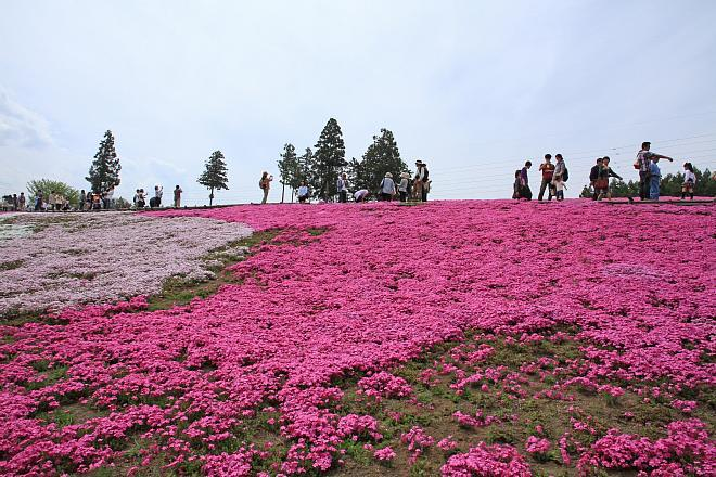 shibazakura1234_x660.jpg