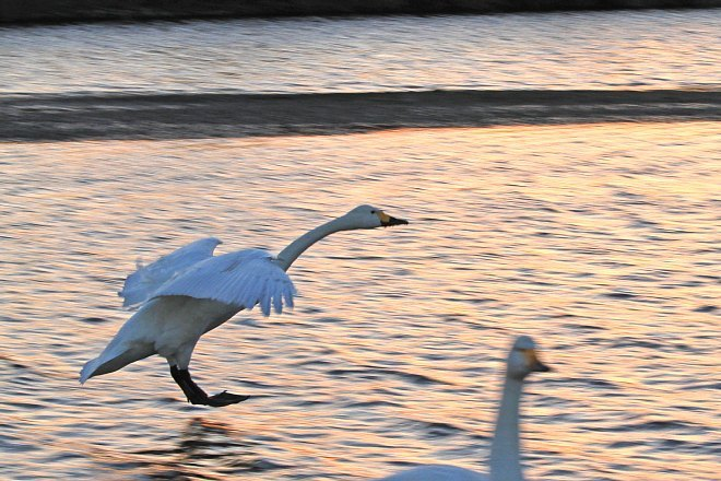 swan1314_x660.jpg