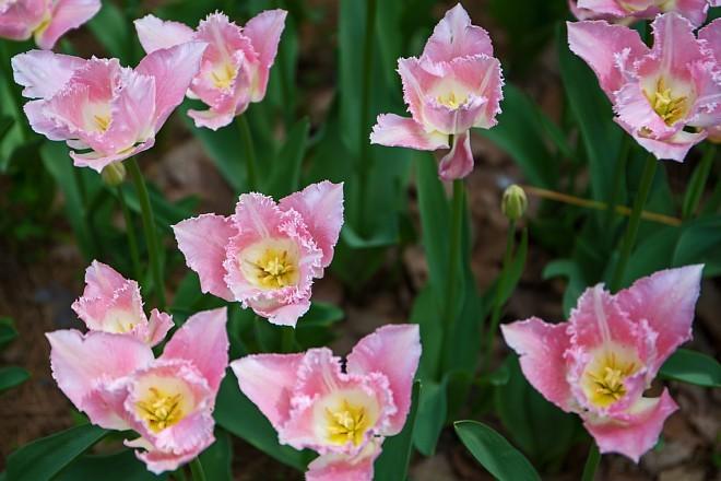 tulip1716_x660.jpg