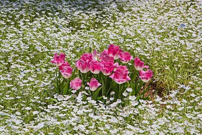 tulip1727_x660.jpg